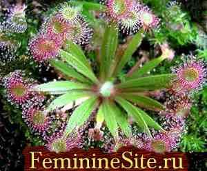 Экзотические комнатные растения - росянка капская.