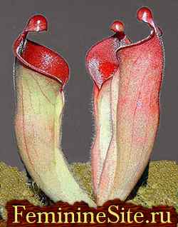 Экзотические комнатные растения - хелиапфора.