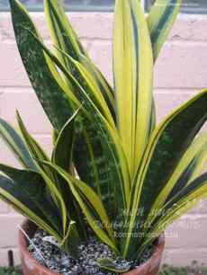 Комнатные растения не требующие света и ухода за ними. (sansevieria)