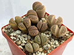 """Литопсы - декоративные """"живые камни"""" для дома. Фото-4."""