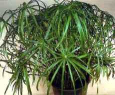 Полезные растения для дома -циперус.