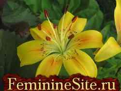 как правильно выращивается комнатное растение лилия?