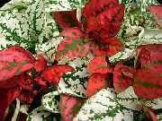 Гипоэстес листоколосковый (hypoestes).