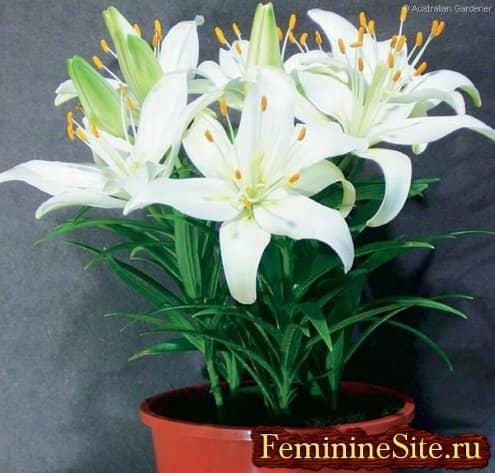 Интересуетесь, как правильно выращивается комнатное растение лилия