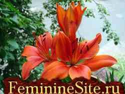 Как правильно выращивать комнатное растение - Лилию.