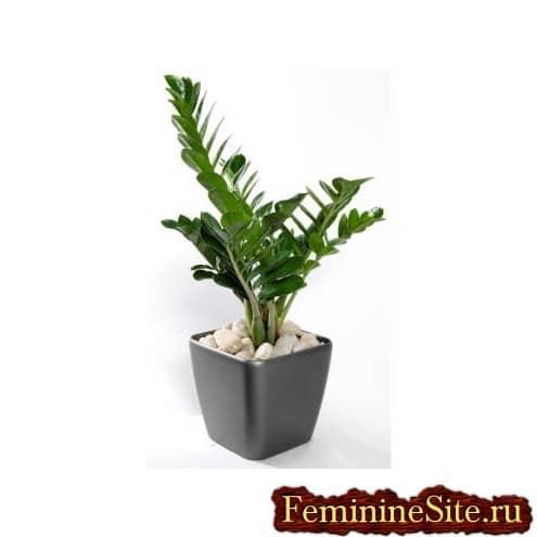 Замиокулькас - комнатное растение, идеально подходящее для наших квартир