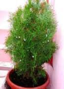 Комнатное растение для детской комнаты - плосковеточник.