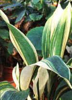 Комнатные растения для детской комнаты - Аспидистра (aspidistra).