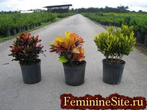 Комнатные растения с большими листьями - кодиеум пестрый