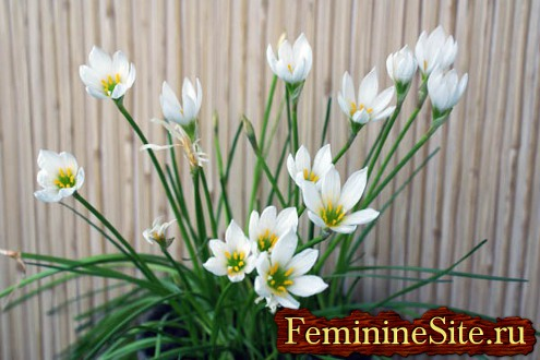 Комнатное растение с белыми цветками – Зефирантес белый