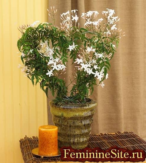 Комнатное растение с белыми цветками – жасмин