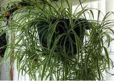 Комнатные растения не требующие света и ухода за ними. Фото. (chlorophytum)