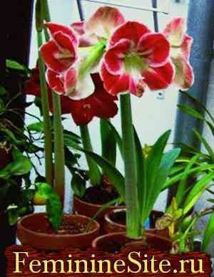 Гиппеаструм - выращивание, уход, размножение, болезни и вредители. Фото