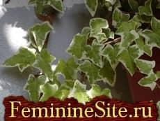Комнатные растения, которые очищают воздух в доме - плющ обыкновенный.