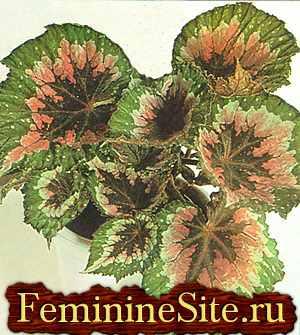 Бегония - разновидности, выращивание, размножение (begonia rex).