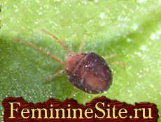 Вредители комнатных растений - паутинный клещ.