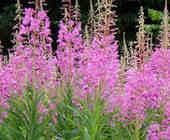 Растения Близнецов — помощь эмоциональному и физическому здоровью. Фото