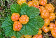 Растения козерога - морошка