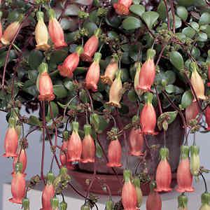 Растения Тельца