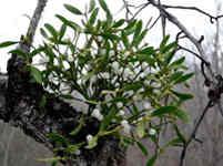 Растения Скорпиона для здоровья