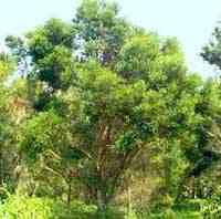 Эфирное масло чайного дерева - применение и свойства