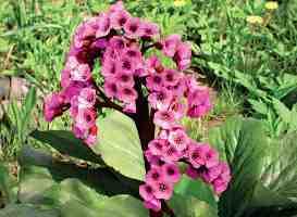 Бадан растение