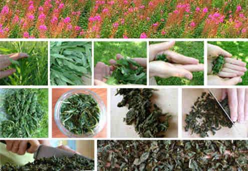 Заготовка иван чая в домашних условиях с фото